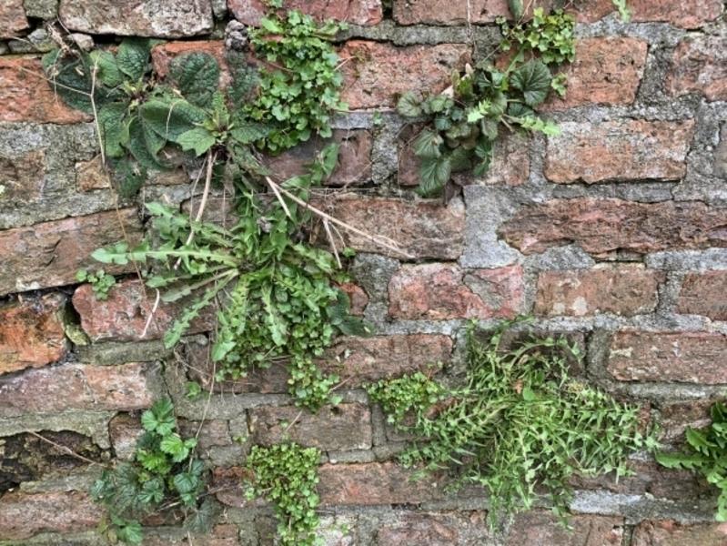 De muur is rijk begroeid met o.a. Muurleeuwenbek en Paardenbloemen.