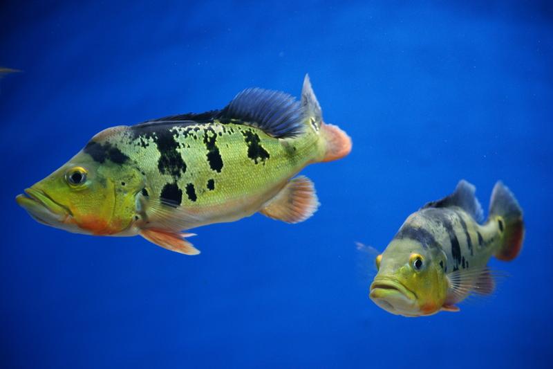 Картинки окуня в аквариуме